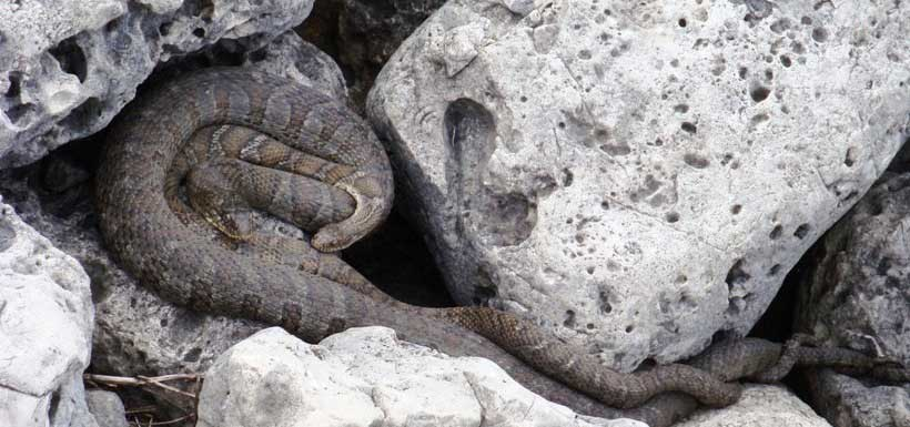Northern watersnakes are excellent swimmers; the Lake Erie watersnake is a subspecies of the northern (Photo by NCC)