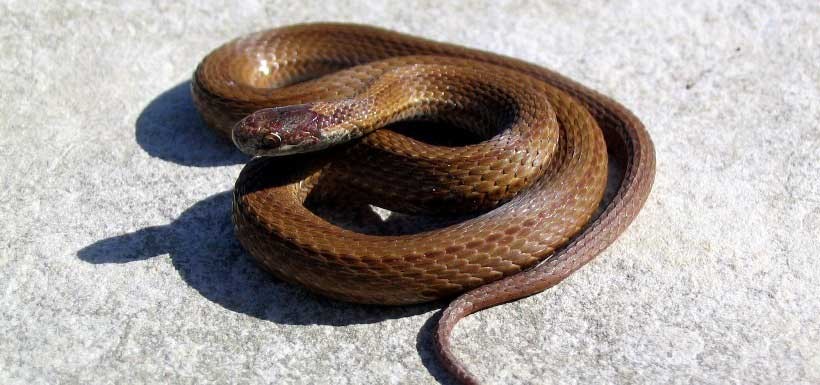 The red-bellied snake is primarily nocturnal, living along forest edges (Photo by Ryan M. Bolton)
