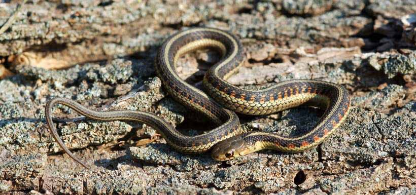The red-sided gartersnake is considered a subspecies of the common gartersnake (Photo by Ben Lowe)