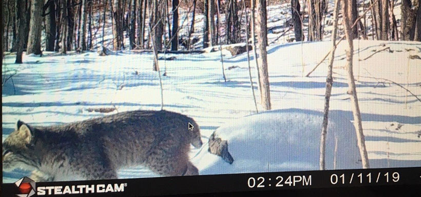 A rare sighting of a bobcat is another example of a species we would never get close to in real life. A neighbour spotted this feline on their camera that's pointing toward NCC property, and sent it into us. (Photo by NCC)