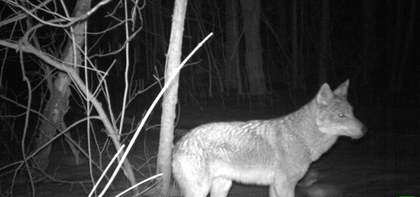 One thing that trail cameras do really well is help us capture elusive animals. We would never be able to get this close to a coyote otherwise. (Photo by NCC)
