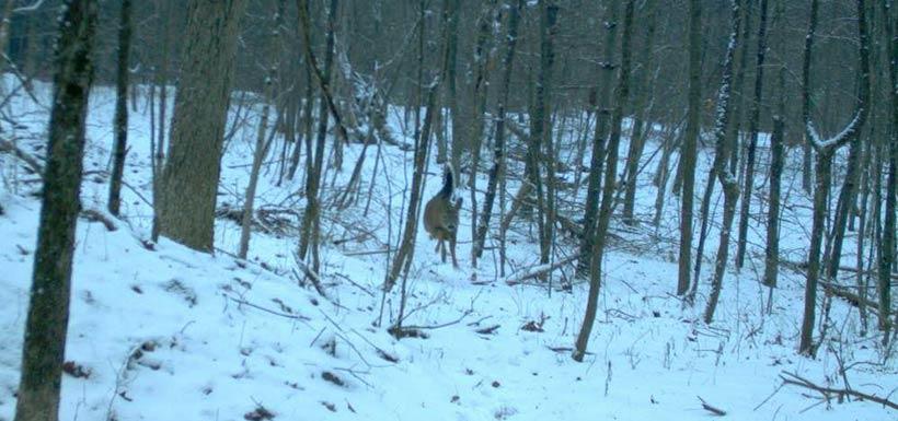 We get deer in the snow. (Photo by NCC)