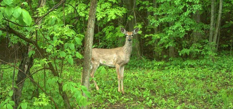 White-tailed deer are commonly caught on our trail cameras. (Photo by NCC)