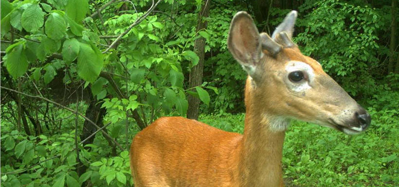 Really curious deer (Photo by NCC)