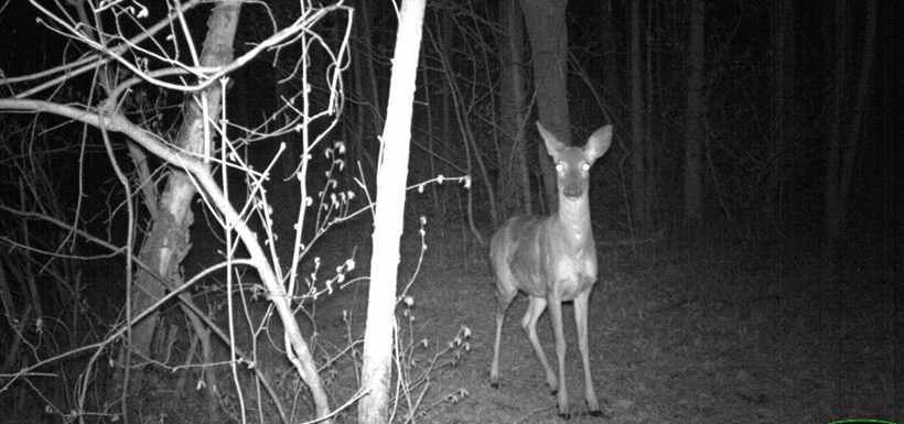 Startled deer (Photo by NCC)