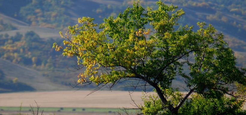 Fairy Hills tree