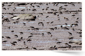 Semipalmated sandpipers at Johnson's Mills, NB (Photo by Mike Dembeck)