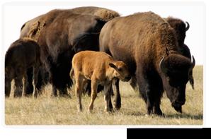 Plains bison, Old Man on His Back, SK (Photo by Karol Dabbs)