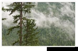 Mélèze occidental, Darkwoods, C.-B. (Photo de Bruce Kirkby)
