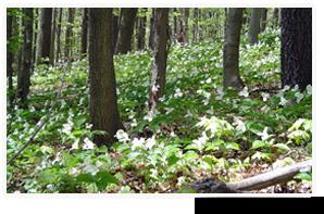 Trilles blancs, Forêt Happy Valley, Ont. (photo de CNC)