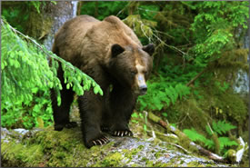 Grizzly bear (Photo by Darren Colello)