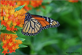 Monarch butterfly on milkweed (Photo by Dave Nelson)