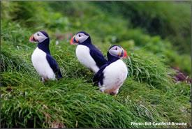 Atlantic puffins (Photo by Bill Caulfeild-Browne)