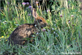Rabbit on Johnson's Mills Shorebird Reserve in NB (Photo by Mike Dembeck)