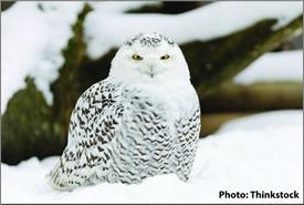 Snowy owl (Photo by Thinkstock)