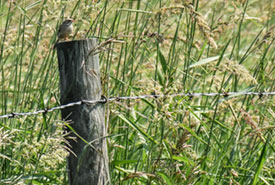 Bird on fence post at Golden Ranches (Photo by NCC)