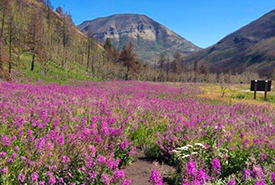 Purple fireweed around Waterton Lakes National Park (Photo by Dave Kerr)