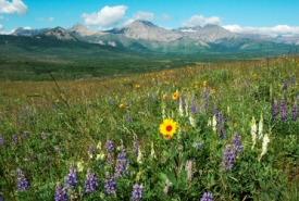 Wildflowers on Pine Ridge, Alberta (Photo by Bob Lee)