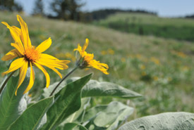 Arrow-leaved balsamroot on Lac du Bois Conservation Area (Photo by NCC)