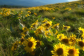 Balsamroot, Pine Butte Ranch, BC (Photo by Tim Ennis/NCC)