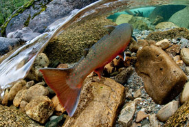 Bull Trout in Cultus Creek, Darkwoods, British Columbia (Photo by Bruce Kirkby)