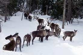Caribou on Darkwoods, British Columbia (Photo by Christian Schadendorf)