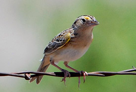 Grasshopper sparrow (Photo by Jerry Oldnettel)