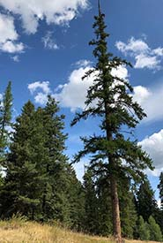 Western larch on Lehmann Springs Conservation Area (Photo by NCC)
