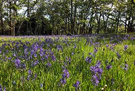 A meadow of common camas in bloom at the Cowichan Garry Oak Preserve (Photo by Paul Hacker)