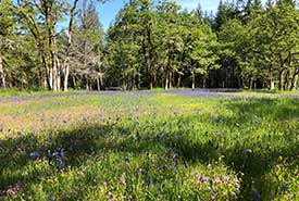 A shallow meadow site full of blooming flowers. Sea blush, common camas, meadow buttercup and spring gold dominate the landscape (Photo by Paul Hacker)