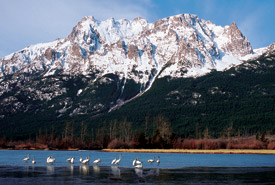 Swans on Tatlayoko Lake, British Columbia (Photo by Sally Meuller)
