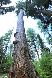 Veteran western larch on Lehmann Springs COnservation Area (Photo by NCC)