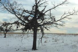 Bur oak, bear nest, Fort Ellice, MB (NCC staff)