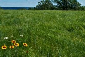 Gaillardia flowers, Fort Ellice, MB (Photo by Karol Dabbs)