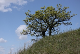 Bur oak with mixed-grass prairie on the Yellow Quill Prairie, MB (Photo by NCC)
