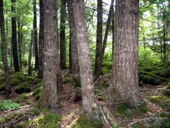 Hemlock stand, Lake Rossignol, NS (Photo by NCC)