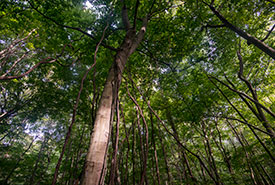 Forest canopy in Backus Woods (Photo by Neil Ever Osborne)