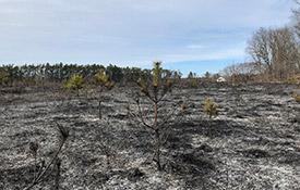 Southern Norfolk Sand Plain post prescribed burn (photo by NCC)
