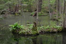 Spring Swamp, ON (Photo by Mary Gartshore)
