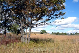 Black oaks on the prairie and savannah, Rice Lake Plains, Ontario (Photo by NCC)