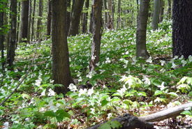 White trilliums in Happy Valley Forest, ON (Photo by NCC)