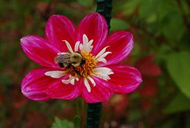 Abeille sur un dahlia bourgogne (Photo de Luana Boulanger)