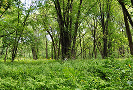 Silver maple stands, Grondines (Photo by NCC)