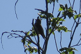 Olive-sided flycatcher's habitat, Kenauk (Photo by BPQ)