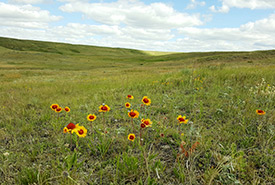 Native grassland with wildflowers (mainly blanket flower) in the foreground (Photo by Sarah Ludlow/NCC staff)