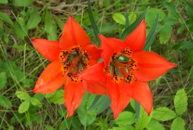 Western Red Lily at Ivey Property, SK (Photo by Desiree Idt)