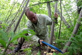 Conservation Volunteer Dave Young helps remove glossy buckthorn, Pugwash River Estuary, Nova Scotia. (Photo by Mike Dembeck)
