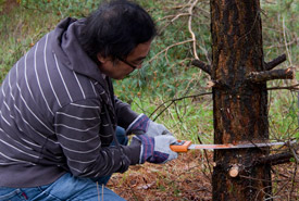 NCC staff work to remove non-native Scotch pine, Hazel Bird Nature Reserve, ON (Photo by NCC)