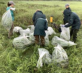 Volunteers removing sow-thistle (Photo by NCC)
