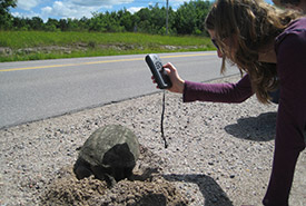 Snapping turtle, data collection (Photo by NCC)